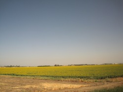 train-sunflower-fields
