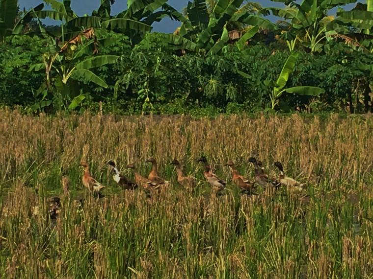 ducks-in-rice-field