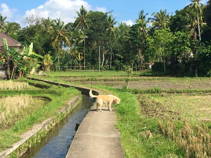 mimpi-rice-fields