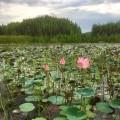 blooming-lotus-tasik-chini-2
