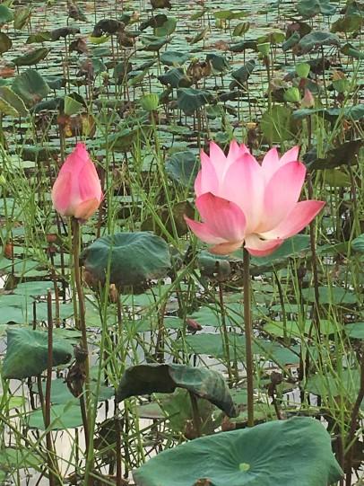 Blooming Lotus, Tasik Chini