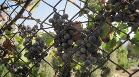 Grape vines near St John's Church