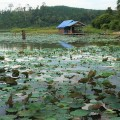 lotus-covers-a-large-part-of-tasik-chini