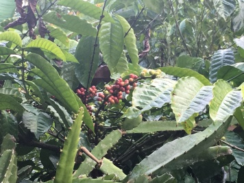 Ripened Coffee Beans