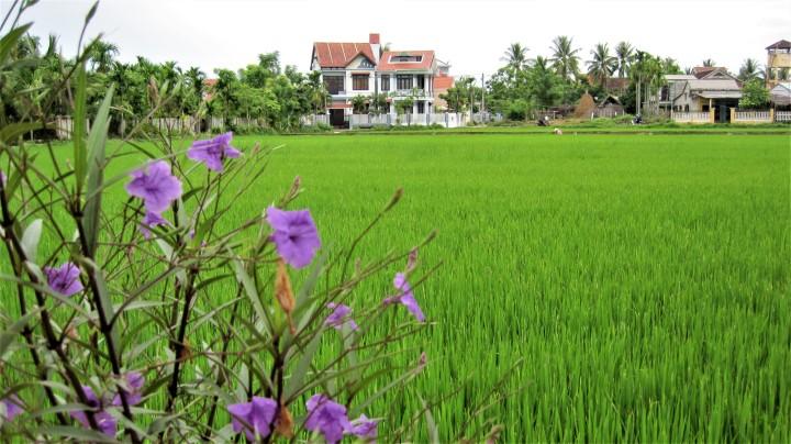 paddy-fields